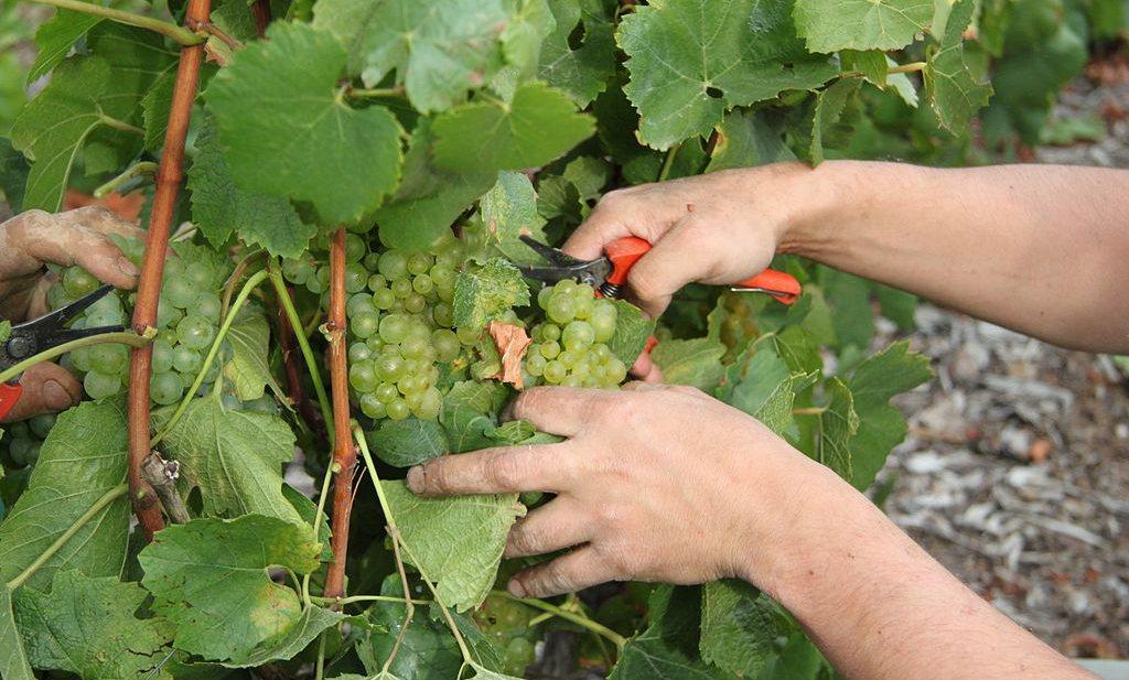 Tekort aan druivenplukkers door vroege wijnoogst