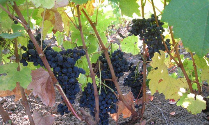 Franse wijnoogst vroeg en 'veelbelovend'