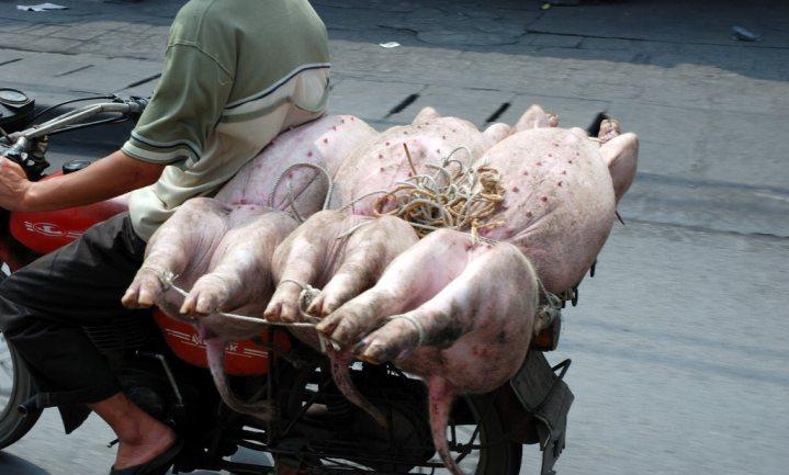 'Afrikaanse varkenspest grootste uitbraak van dierziekte ooit'