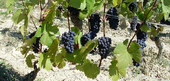 Nieuw: nieuwe wijn uit Frankrijk
