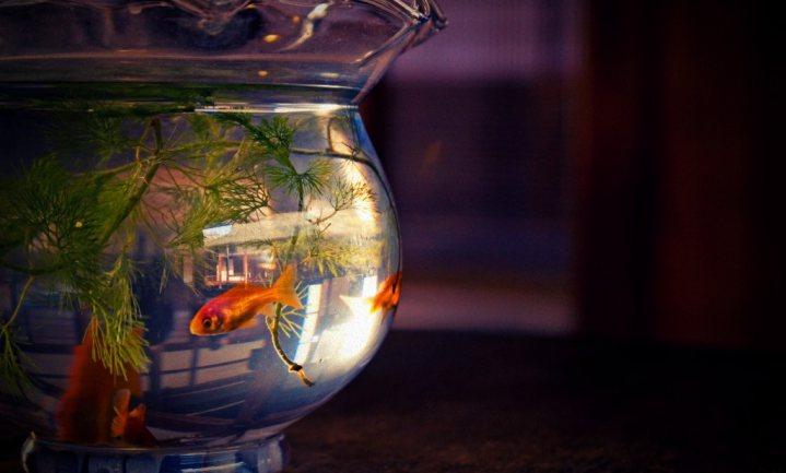 Vissenbescherming redt goudvissen uit vissenkom