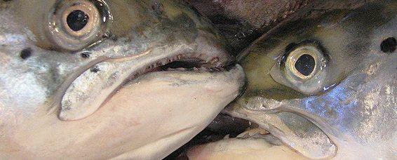 Vis, vis, maar dan ook de hele vis