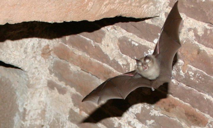 Vleermuizen besparen landbouw jaarlijks $1 miljard