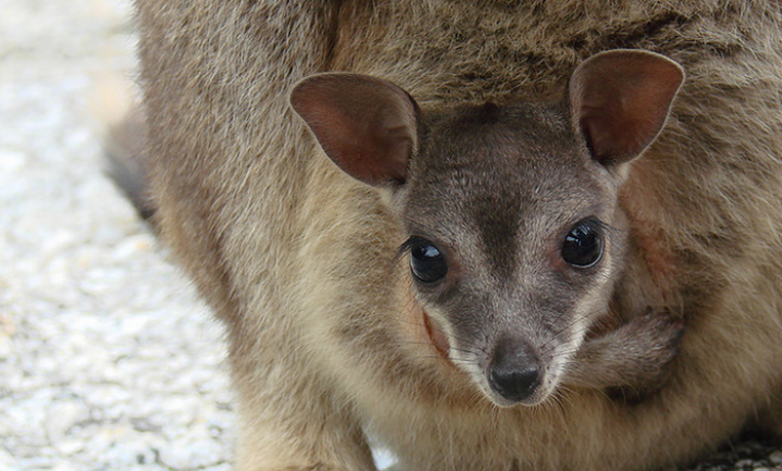 Michael Pollan promoot het eten van wallaby