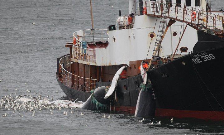 Japan vindt dat er weer genoeg walvissen zijn om op te jagen