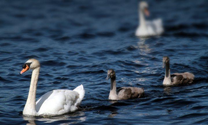 Vogelgriep H5N6 aangetroffen op eendenbedrijf Flevoland