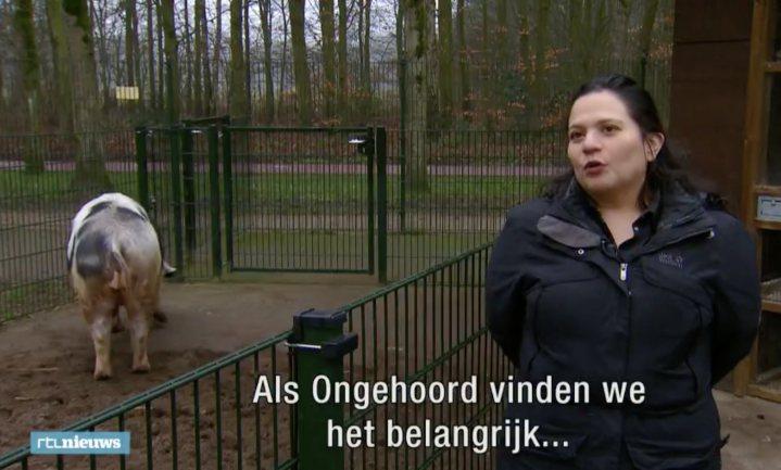 Diervriendelijke Nederlandse slachter blijkt varkens te slaan en schrikt er zelf van