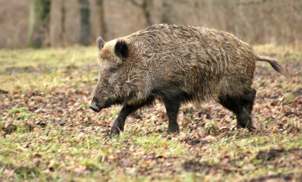 Hoe Tsjechië de Afrikaanse varkenspest onder controle kreeg