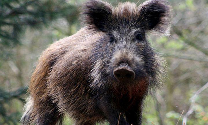 Rusland verliest WTO-zaak varkensvlees