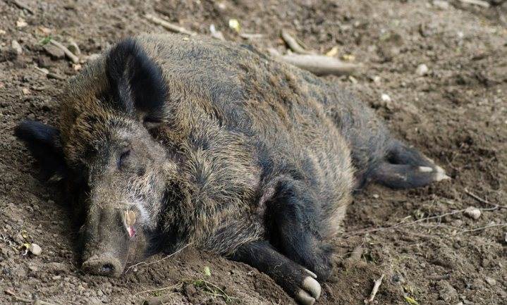 België arresteert jachtopziener, jagers en boswachter in verband met varkenspest