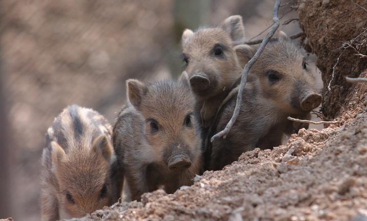Hek tegen varkensvirus