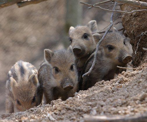 Nederland scherpt monitoring op Afrikaanse varkenspest aan