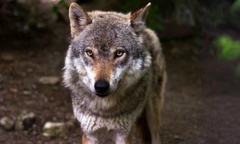 Hoge Veluwe vreest bos omdat wolf van schapen houdt