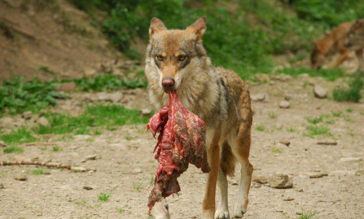 Wolf niet gek