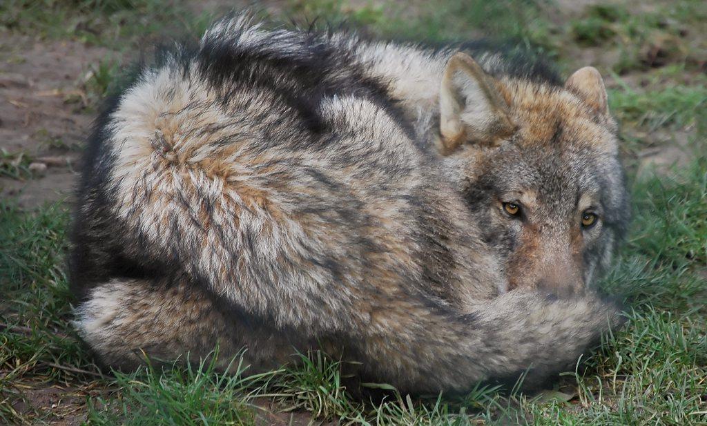 Houdt onze wolf van schaap?