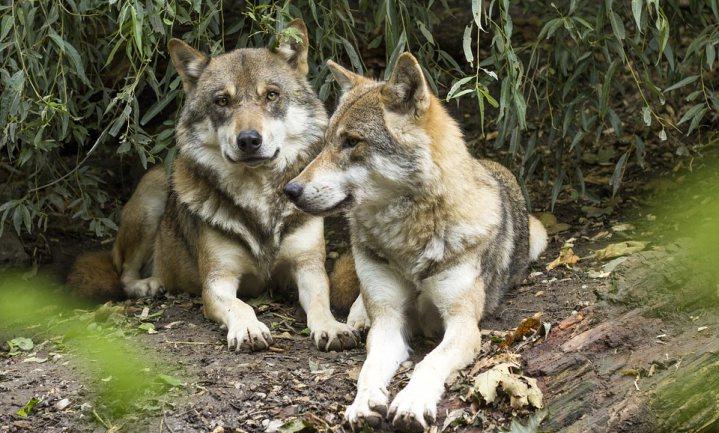 Over een paar weken is de wolf misschien weer officieel terug in Nederland