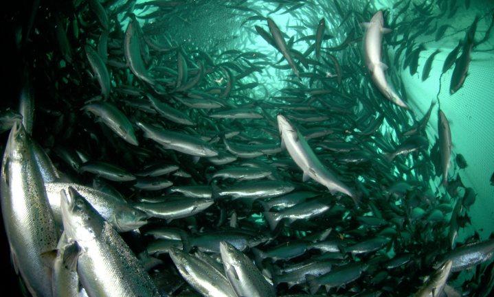 Ook kweekvis moet meer groente eten