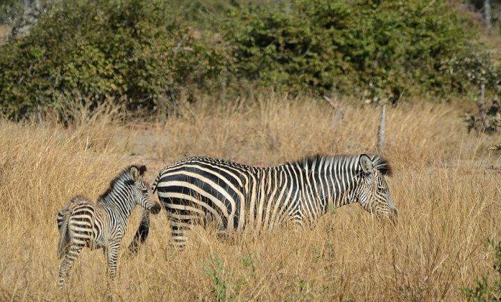 Zebrastrepen en wit houden vervelende vliegen op afstand