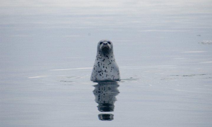 Canadees restaurant met zeehond op de kaart wekt woede dierenbeschermers