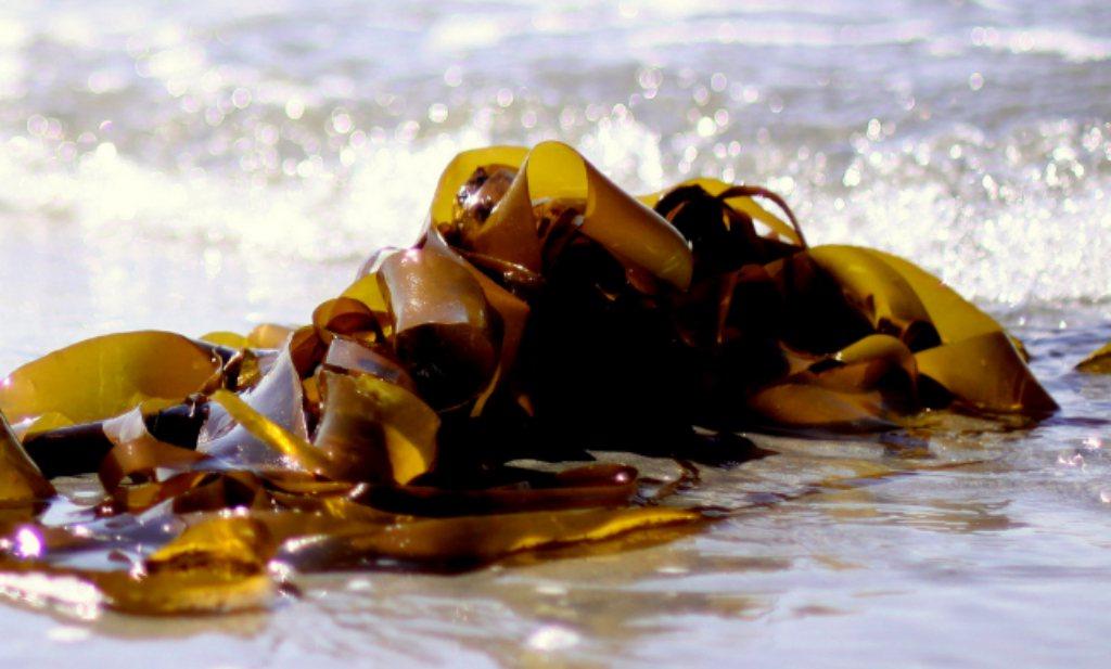 Stel je voor dat Nederland grootschalig zeewier voor de kust gaat telen